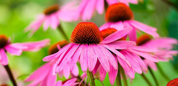 ehinacea biljka